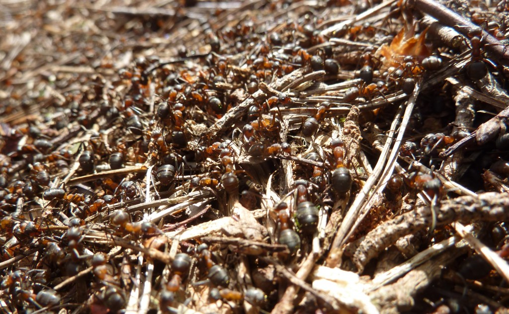 Wareham Forest ants