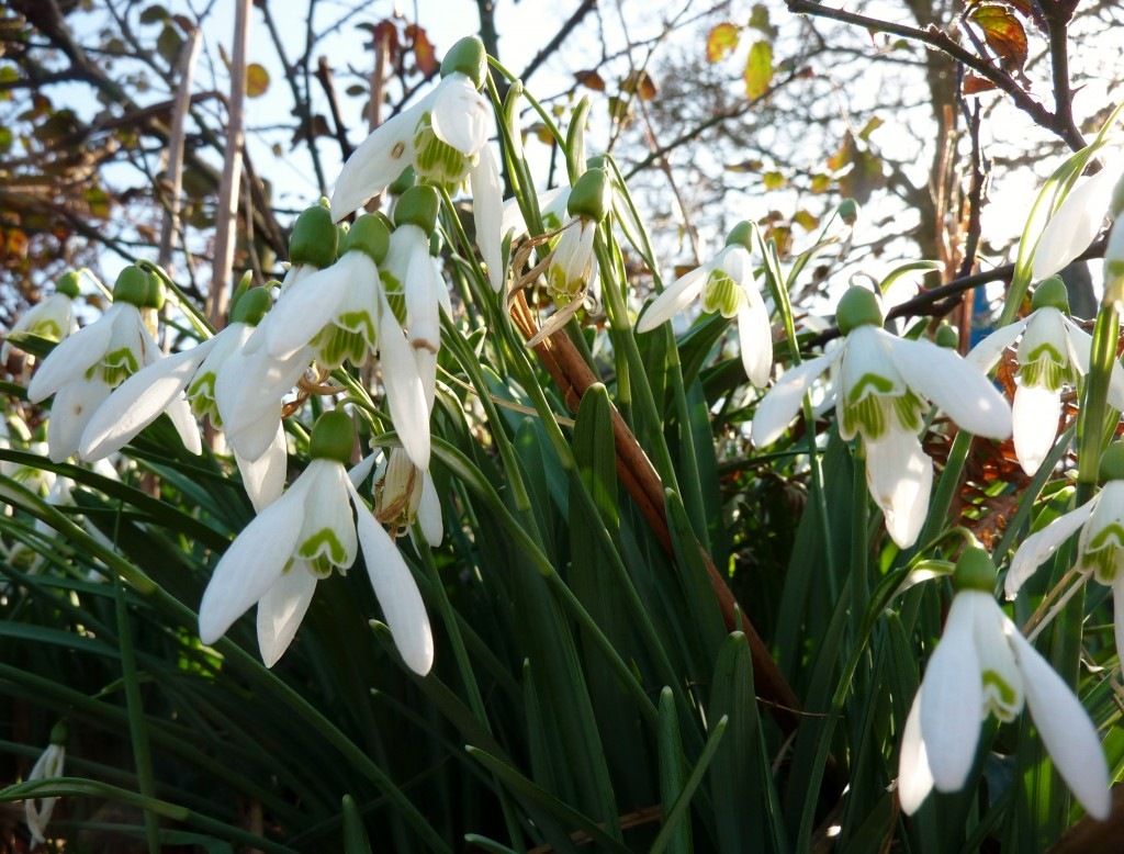 Snowdrops at East Morden