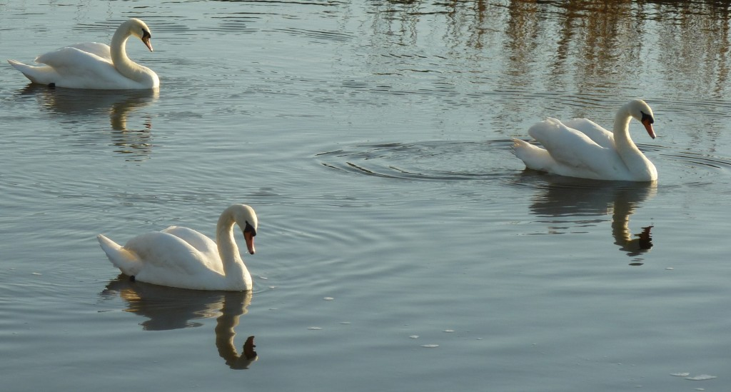 Swans on the Stour