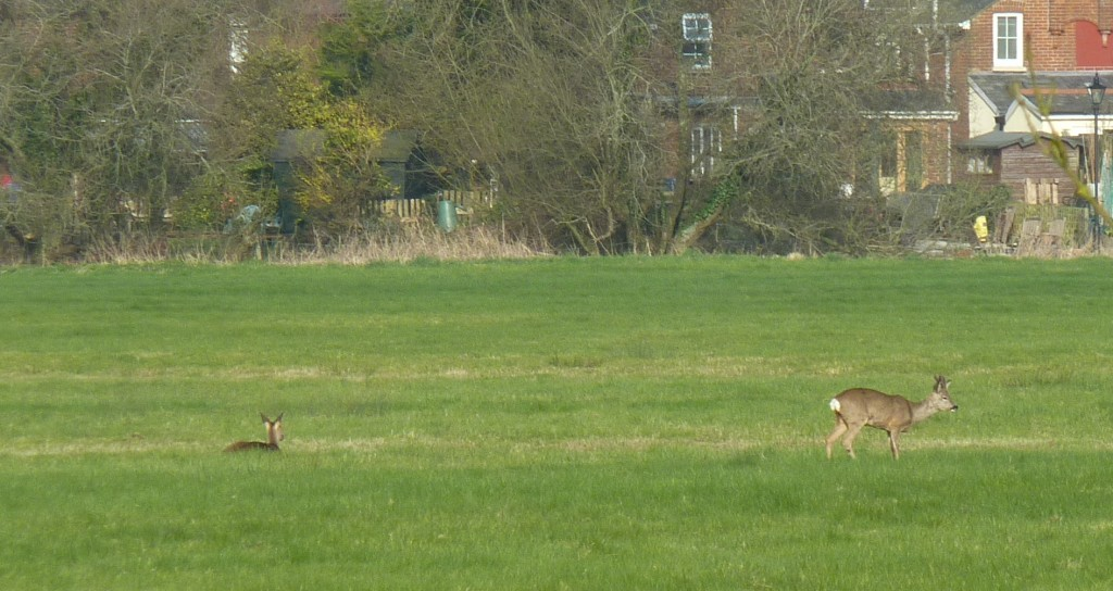 Deer at Ringwood