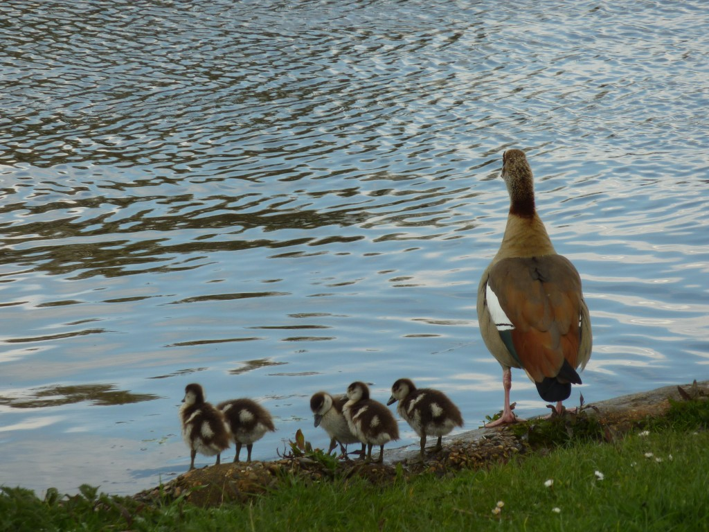 Ma Goose and the kids, River Thames