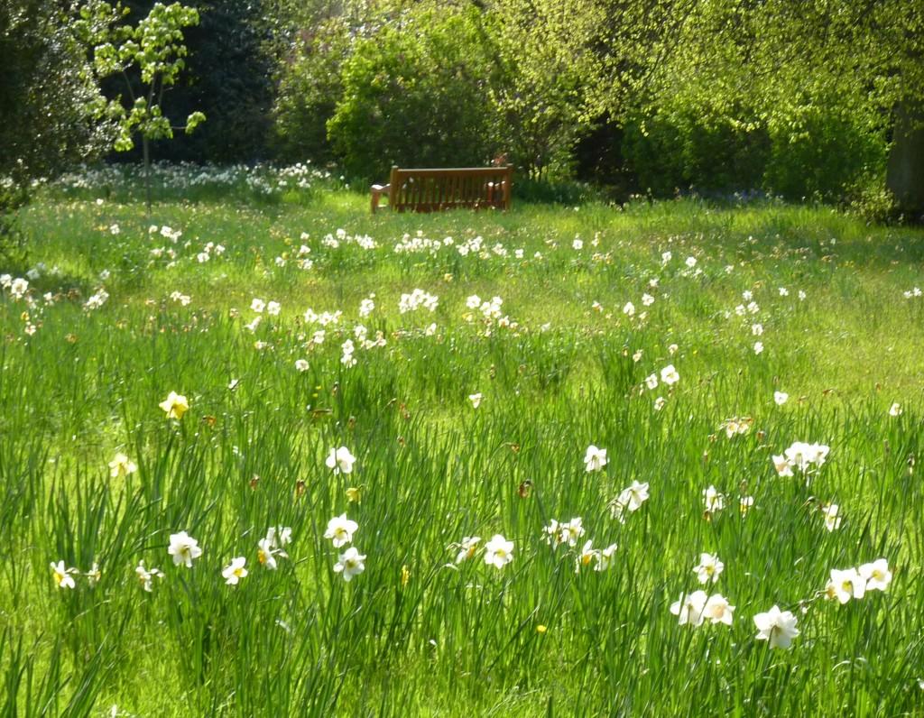 Hampton Court daffodils