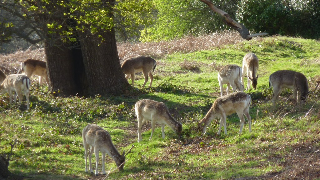 Pretty Richmond park deer
