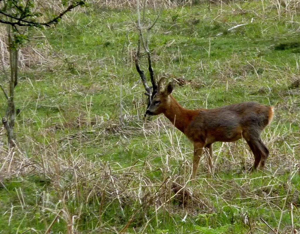 Another deer!