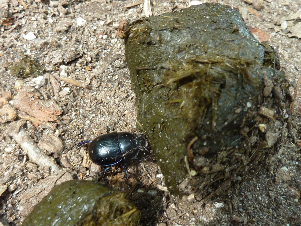 Mmmm, smelly horse poo and a dung beetle (not tasty)