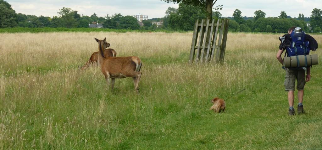 Cowardly deer!